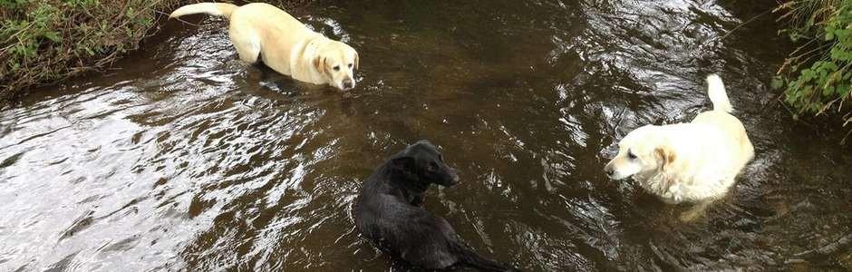 chien riviere