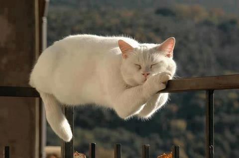 chat blanc dodo